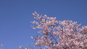 Cherry trees orchard oblossom. Cherry trees orchard blossom in spring stock footage