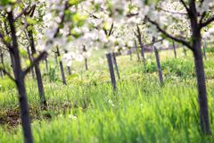 Cherry trees orchard spring season Royalty Free Stock Photo