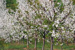 Cherry trees orchard spring season landscape Stock Image