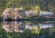 Cherry trees on pond Stock Photos