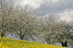 Cherry trees with rape field, Germany Royalty Free Stock Photo