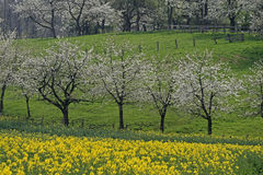 Cherry trees with rape field in spring Stock Photos