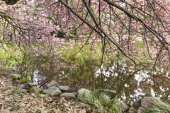 Cherry Trees Reflected i dammet Royaltyfria Bilder