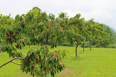 Cherry trees Stock Photography