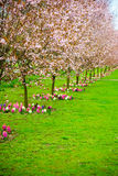 Cherry trees in a row. Garden spring blossom. Royalty Free Stock Photography