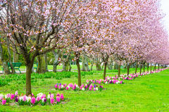 Cherry trees in a row. Garden spring blossom. Royalty Free Stock Photo