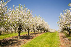 Cherry Trees. In Schleswig-Holstein, Germany Royalty Free Stock Image