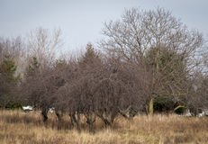 Cherry trees. Six cherry trees in tall grass Royalty Free Stock Image