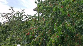 Cherry trees in Southern Turkey Stock Photo