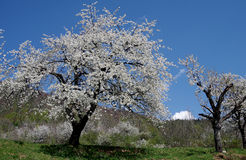 Cherry trees in spring Royalty Free Stock Images