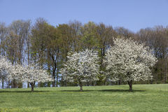 Cherry trees in spring, Hagen, Germany Royalty Free Stock Photography