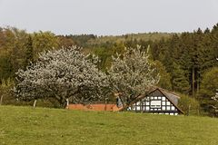 Cherry trees in spring, Hagen, Lower Saxony, Germany Stock Photos