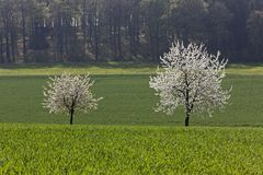 Cherry trees in spring, Holperdorp, North Rhine-Westphallia, Germany Stock Images