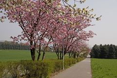 Cherry trees in spring, Lower Saxony, Germany Royalty Free Stock Images