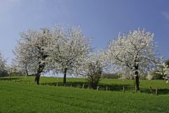 Cherry trees in spring, Lower Saxony, Germany Stock Photos