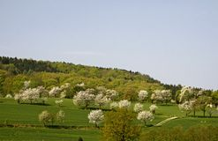 Cherry trees in spring, Lower Saxony, Germany Stock Photography