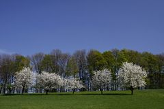 Cherry trees in spring, Lower Saxony, Germany Stock Images