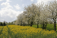 Cherry trees in spring with rape field. Germany Royalty Free Stock Photography