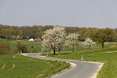 Cherry trees in spring in Saxony, Germany Stock Photo