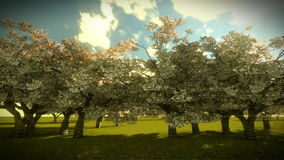 Cherry Trees and Sunrise Time Lapse stock video footage