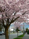 Cherry trees in Vancouver, Canada Royalty Free Stock Photography