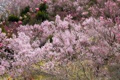Cherry trees and vivid peach blossoms on the hill,Hanamiyama Park,Fukushima,Tohoku,Japan. Stock Images