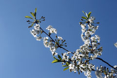 Cherry twig. On a background of the sky with space for text royalty free stock image
