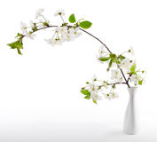 Cherry twig in bloom Stock Photo