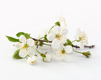 Cherry twig in bloom Stock Images