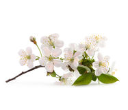 Cherry twig in bloom Stock Photos