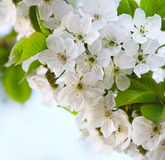 Cherry twig in bloom Royalty Free Stock Photo