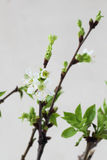 Cherry twig in bloom Stock Image
