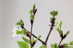 Cherry twig in bloom Royalty Free Stock Images