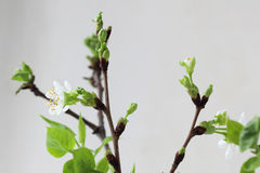 Cherry twig in bloom Royalty Free Stock Photos