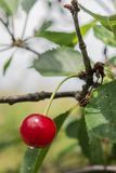 Cherry on a twig with dot of water stock image