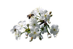 Cherry twig and honeybee. Isolated on a white background stock photography