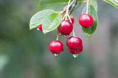 Cherry twig with rain drops. Closeup of cherry twig with rain drops stock images