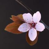 Cherry twig Stock Image