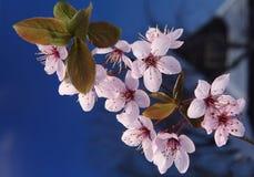 Cherry twig Stock Photo