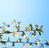Cherry twigs in bloom Stock Images