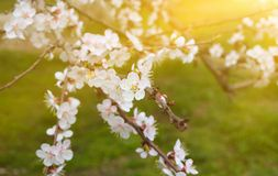 Cherry twigs with white flowering blossom close-up, spring time. Cherry twigs with white flowering blossom close-up, spring time royalty free stock image