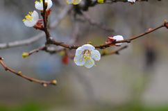 Cherry twigs with white flowering blossom close-up, spring time. Cherry twigs with white flowering blossom close-up, spring time stock photo