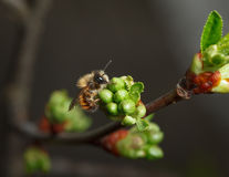 Cherry unfold flower buds and early bee Stock Image