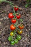 Cherry växta organiskt tomater Royaltyfri Fotografi