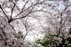 Cherry Blossom valley,wuxi,china. Cherry valley,Wuxi Taihu Yuantouzhu Park Cherry Blossom valley stock image
