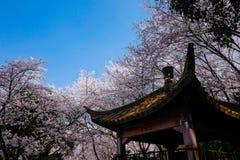Cherry Blossom valley,wuxi,china. Cherry valley,Wuxi Taihu Yuantouzhu Park Cherry Blossom valley royalty free stock photo
