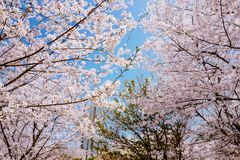 Cherry Blossom valley,wuxi,china. Cherry valley,Wuxi Taihu Yuantouzhu Park Cherry Blossom valley stock photo