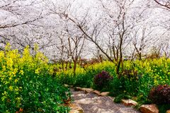 Cherry Blossom valley,wuxi,china Royalty Free Stock Photo