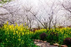 Cherry Blossom valley,wuxi,china Stock Photo