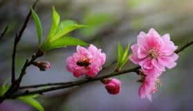 Cherry Vietnam Foto de Stock Royalty Free
